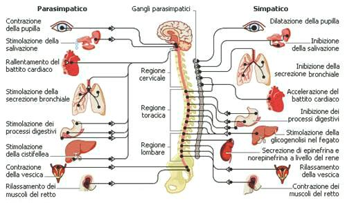 sistema parasimaptico e simapatico